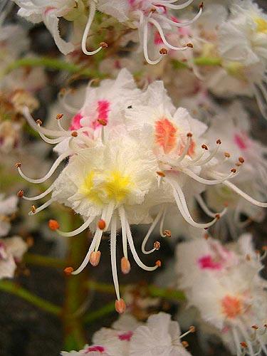 Бял кестен – цветето на душевния мир